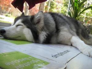 tally-husky-cree-ser-gato