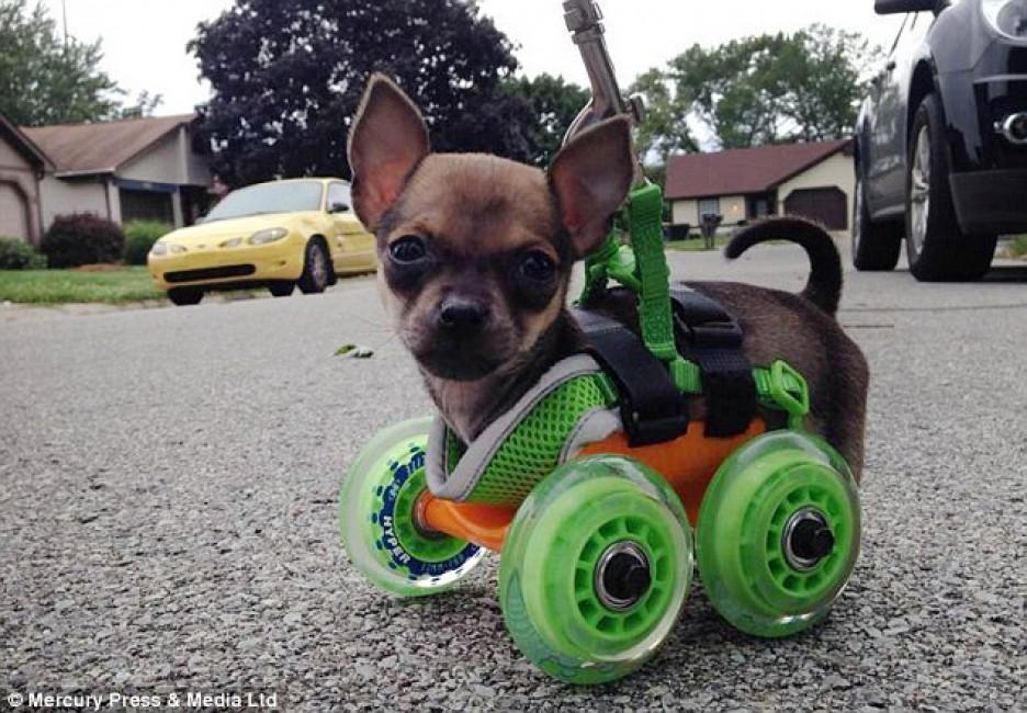 turbo-roo-perro-sin-patas