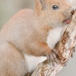 Ardilla Roja, esta subespecie solo se puede encontrar en Hokkaido.