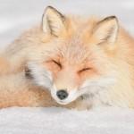 Es un zorro normal pero no deja de ser realmente precioso