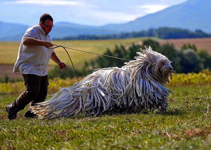 perro-perros-grandes-enormes (5)