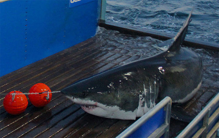 tiburon-con-twitter (2)
