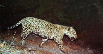 jaguar-el-jefe_big.jpg
