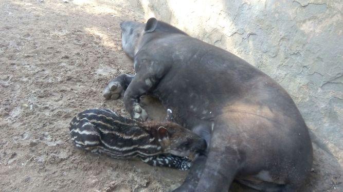 El Gancho. Nace-Jerez-cria-tapir-terrestre