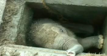 El Gancho. Rescatan cria elefante