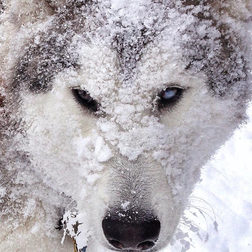 El gancho. loki-el-perro-lobo7