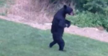 El Gancho. El oso que anda como un humano