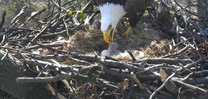 ¡El nacimiento de dos crías de águila en directo!