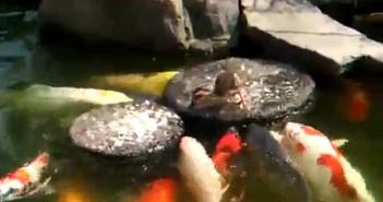 El Gancho. Pato da de comer peces