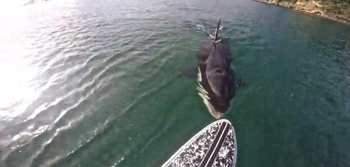 ¡<i>Paddle surf</i> con una orca!