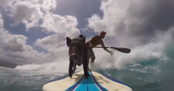 Kama el cerdo surfista