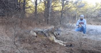 Puso-su-vida-en-peligro-para-salvar-al-lobo
