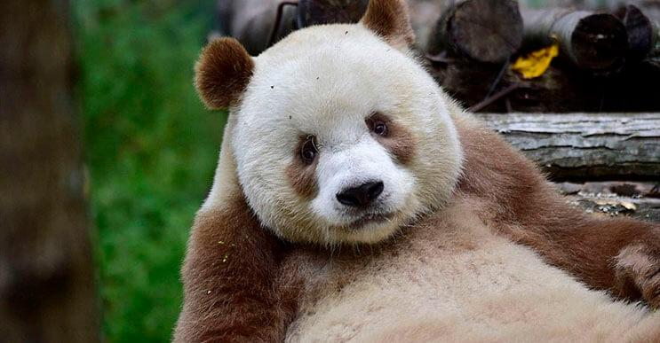 El-único-panda-marrón-del-mundo-al-fin-encontró-un-hogar