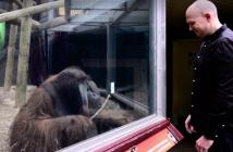 Orangutan imita a mago