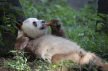 A Giant panda with rare brown-and-white fur eats a carrot at a natural conservation area in Qinling