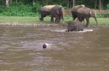 elefante-salva-vida-hombre-rio