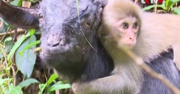 Mono y cabra amigos inseparables