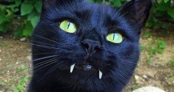 el gato vampiro monkey