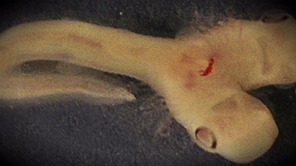 tiburon con dos cabezas1