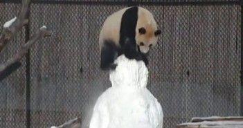 como se lo pasa el panda