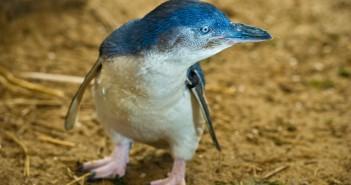 El pingüino más pequeño del planeta