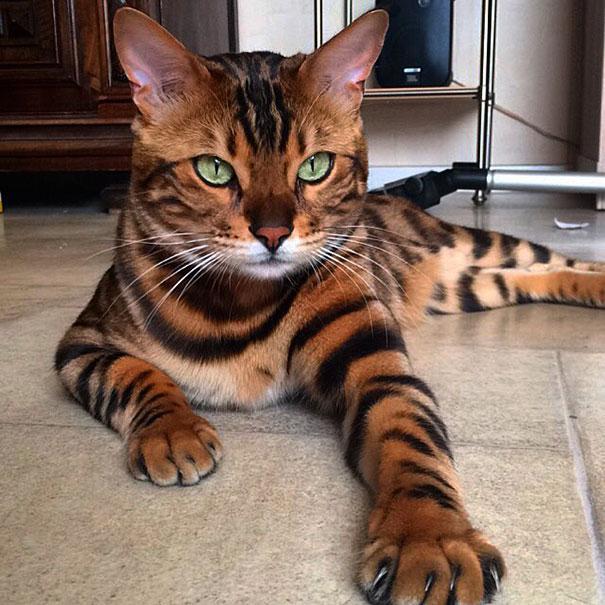 gato-bengala-thor-instagram-3