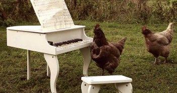Música con ayuda de pollos y gallinas