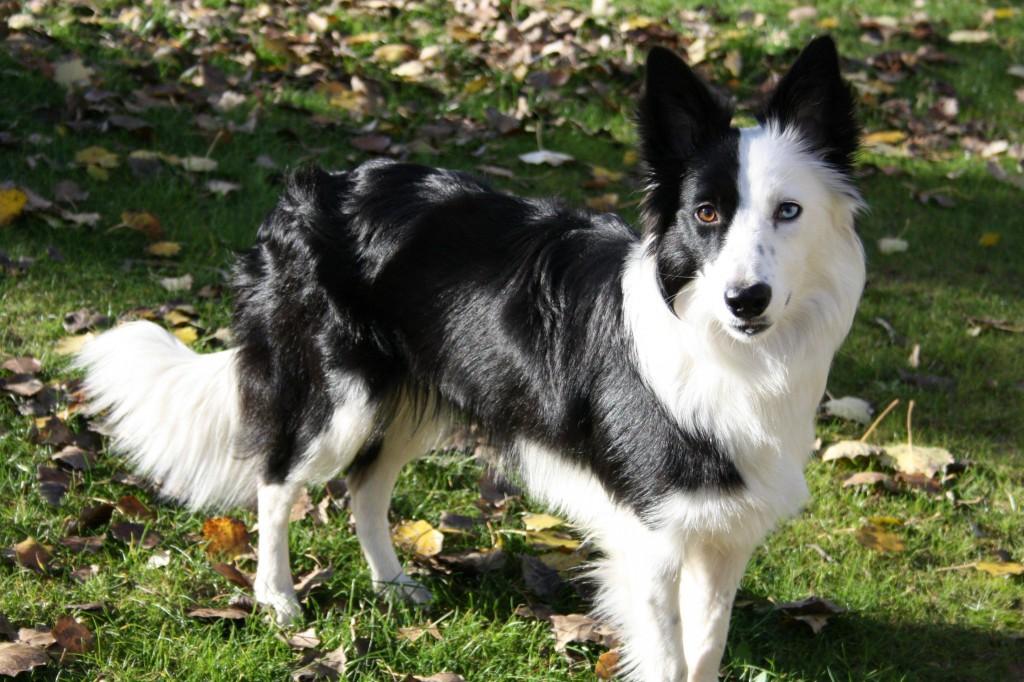 las cinco razas mas inteligentes-border-collie-dog