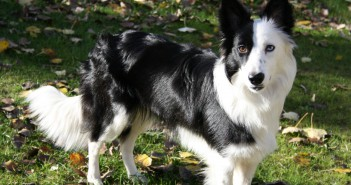 las cinco razas mas inteligentes-border-collie-dog