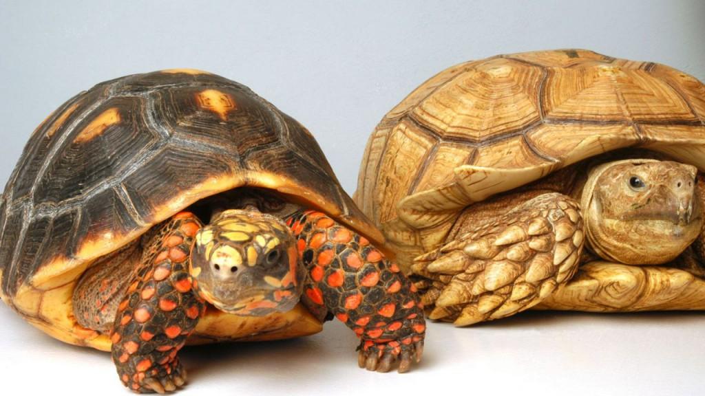 tortugas-terrestres-tienen-memoria