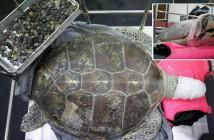 915 monedas en el estómago de una tortuga