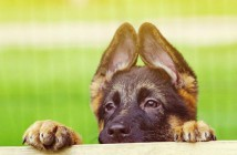 Prohibido cortar la cola y orejas a los perros