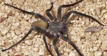 Descubierta una nueva especie de arana 1