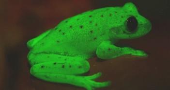 Descubren una rana fluorescente
