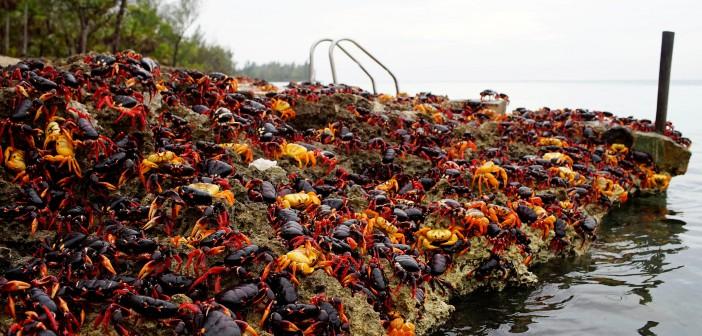 ¡Nueva invasión de cangrejos en Cuba!