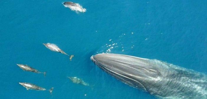 La ballena que dirige a los delfines…