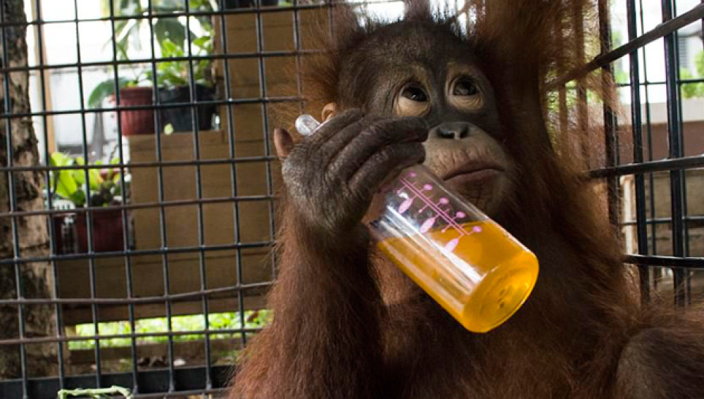 orangutan-liberado-despues-de-dos-anos-en-una-caja