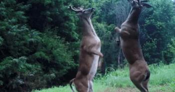 el-combate-de-boxeo-entre-dos-ciervos