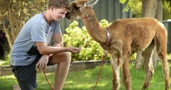 alpaca-chewy-matt-australia-nino-salva-alpaca-carne