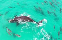 ballena-delfines-australia-dron-jamien-hudson