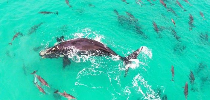 ¡Una ballena juega con los delfines!