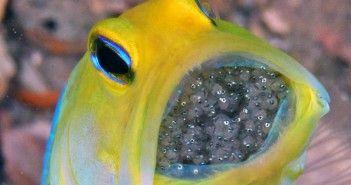 jawfish-pez-huevos-boca-paternal