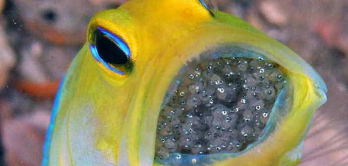 El Jawfish, un pez muy paternal