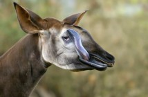 okapi-jirafa-cebra-africa6