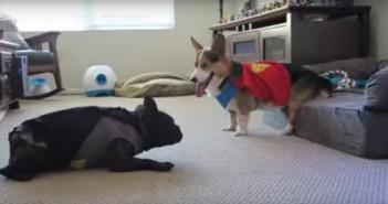 perros-batman-superman-bulldog-frances-corgi-gales