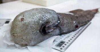 pez-sin-cara-australia-cientificos-oceano