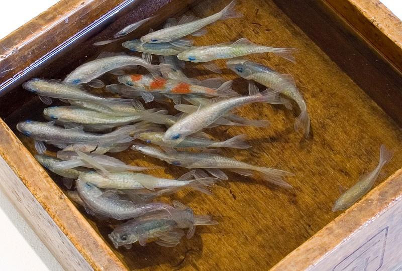 riusuke-fukahori-goldfish-amaarillo-tecnicas-resina-peces-realistas-totenart-material-tridimensional-3djpg (5)
