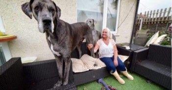 freddy-un-gran-danes-es-el-perro-mas-grande-del-mundo-1486118427