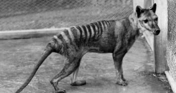 tigre-tasmania-no-extinto
