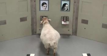 Las ovejas recuerdan rostros humanos